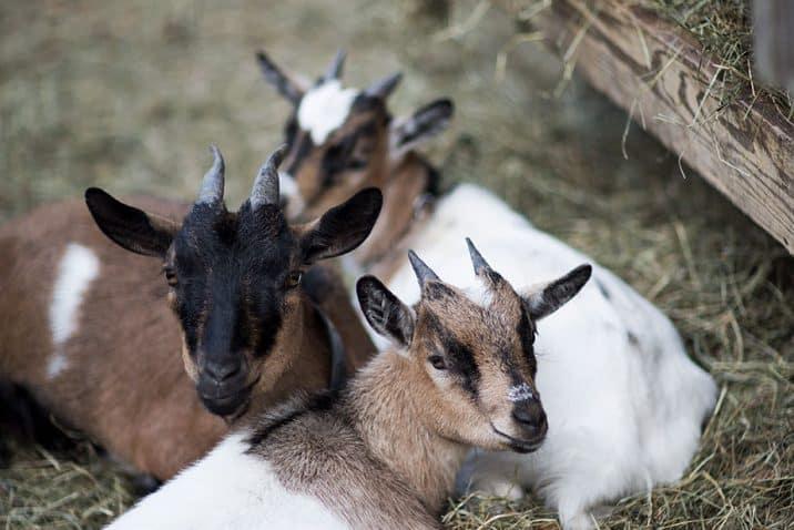 Holzlebn goats
